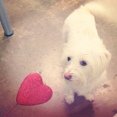 Thomas the #sweetheart <3 #Westie #dog