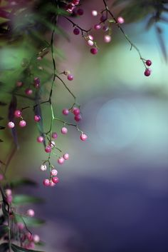 pepper berries | nature photography
