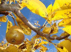 Уход за грушей осенью и подготовка к зиме