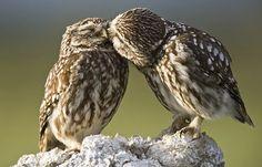 #owl #owls #kiss #kissing #cute #animals #mimimi Animals Kissing, Animals And Pets, Funny Animals, Cute Animals, Funny Owls, Crazy Animals, Exotic Animals, Funny Birds, Exotic Birds