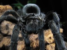 Everything you need to know about the Brazilian Black tarantula.