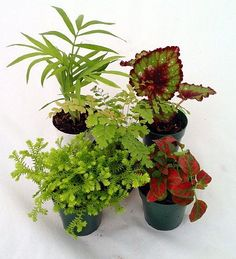 "Terrarium & Fairy Garden Plants - Assortment of 5 Different Plants in 2"" Pots by Hirts: House Plant, http://www.amazon.com/dp/B007H9WMY4/ref=cm_sw_r_pi_dp_gtLkrb0H8PH7E"