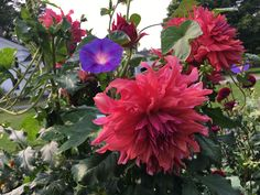 Dahlia 'Belle of Barmera' with rambling morning glories. Morning Glories, Dahlia, Gardens, Flowers, Plants, Outdoor Gardens, Plant, Royal Icing Flowers, Dahlias