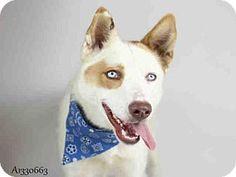 Jurupa Valley, CA - Australian Shepherd. Meet Dog, a dog for adoption. http://www.adoptapet.com/pet/17135717-jurupa-valley-california-australian-shepherd