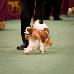 Cavalier King Charles Spaniel  These are great dogs.  My dog is Sturgis.