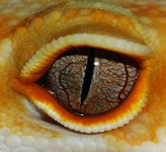 Leopard Gecko Eye Color