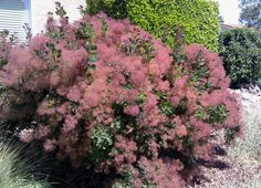My neighbor's Cotinus coggygria (Smoke Bush 'Royal Purple') is stunning year-round.  It has lovely fall color, is evergreen, and the purple plumes arrive in late spring and continue through the fall. This plant is drought-tolerant once established.  It prefers sun, but will tolerate shade.  All parts of the plant are poisonous.  Pictured plant faces west in zone 9b.