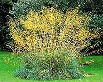 Stipa gigantea combos...  Low-growing plants are ideal companions. The strong lavender-purples of Salvia 'Mainacht' and Verbena rigida work exceptionally well, as does the steel-blue Eryngium x tripartitum. A good evergreen companion is the mid-sized Euphorbia 'Portuguese Velvet', with soft, dark blue-green foliage and acid-green flowers. For late flower colour try the sun-loving Nerine bowdenii, which has delicate pink flowers.