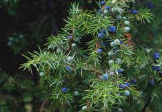 Practical Juniper Essential Oil Uses and Benefits, Plus Blends – Essential Bazaar Home Grown Vegetables, Organic Vegetables, Growing Vegetables, Juniper Berry Essential Oil, Essential Oil Uses, Gemüseanbau In Kübeln, Conifer Trees, Container Gardening Vegetables, Vegetable Gardening