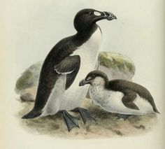 When the Last of the Great Auks Died, It Was by the Crush of a Fisherman's Boot - Birds once plentiful and abundant, are the subject of a new exhibition at the Natural History Museum Extinct Birds, Extinct Animals, Great Auk, Zen, British Wildlife, Bird Illustration, Illustrations, History Museum, Science And Nature