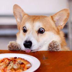 The Cutest Corgi Dog Puppy I Pembroke Welsh Corgi Dog ~ Pets Puppies I Cute Cats & Lovely Dogs Cute Corgi, Corgi Dog, Cute Puppies, Dogs And Puppies, Baby Dogs, Animals And Pets, Baby Animals, Funny Animals, Cute Animals