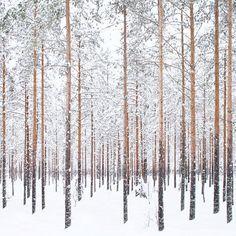 Finnish winter pine forest.
