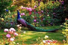 The peacock (also known as peafowl) is a medium sized bird most closely related to the pheasant. Beautiful Creatures, Animals Beautiful, Cute Animals, Crazy Animals, Garden Wallpaper, Peacock Pictures, Peacock Images, Peafowl, Wonderful Picture