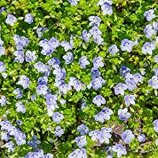 Grow Speedwell seeds for a 2 inch, low-growing ground cover. The ground cover seed can be started outdoors after danger of frost has passed. Ground Covers For Sun, Low Growing Ground Cover, Ground Cover Plants, Planting Seeds, Planting Flowers, Flowering Plants, Fast Growing Flowers, Grass Alternative, Clover Plant