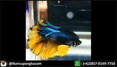 8 Jual Cupang Halfmoon Rosetail Wa 0857 0149 7750 Ideas Cupang Fish Pet Pets