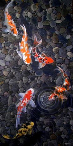 "Gene Gregorio's koi paintings     Koi 36""x 18"" 1800.00"