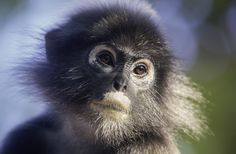 Spectacled langur (Trachypithecus obscurus) | Flickr - Photo Sharing!