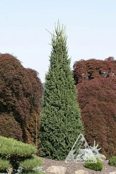 Cupressina Columnar Norway Spruces Specifications | Picea abies 'Cupressina' by Hickory Hollow Nursery and Garden Center