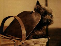 Toto the Cairn Terrier