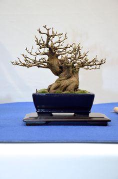 Shohin bonsai - Noelanders Trophy 2013