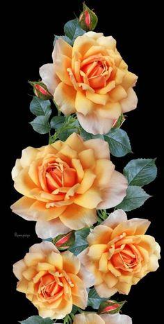 Beautiful Flowers Images, Beautiful Flowers Garden, Flower Images, Exotic Flowers, Flower Photos, Beautiful Roses, Pretty Flowers, Blossom Flower, Flower Art