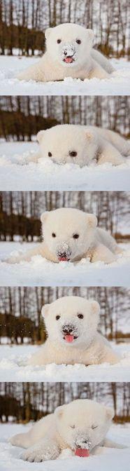 sweet white polar bear on white snow...