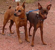 The Doberman Pinscher is among the most popular breed of dogs in the world. Known for its intelligence and loyalty, the Pinscher is both a police- favorite Mini Pinscher, Miniature Doberman Pinscher, Mini Doberman, White Doberman Pinscher, Doberman Dogs, Chihuahua Dogs, Dogs And Puppies, Chihuahuas, Doggies
