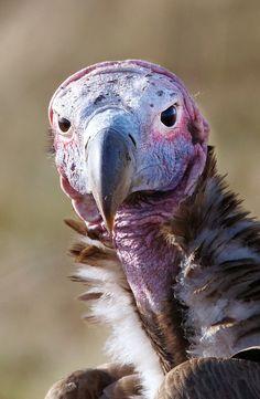 Lappet-Faced Vulture, Masai Mara, Kenya of Prey Pretty Birds, Beautiful Birds, Funny Birds, Funny Animals, Mundo Animal, African Safari, Birds Of Prey, Bird Watching, Mammals