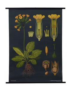 A Cowslip Botanical Poster from a series of German Scientific Charts still produced by the original printer. Impressive science decor with vintage classroom style!