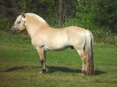 Norwegian Fjord stallion, Fair Acres Ole. One of the top evaluated stallions in the US. S1, G2, Blue Conformation.