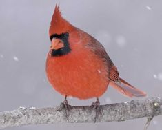 One of our most popular birds, the Cardinal is the official state bird of no fewer than seven eastern states. Abundant in the Southeast, it has been extending its range northward for decades, and it now brightens winter days with its color and its whistled song as far north as southeastern Canada. Feeders stocked with sunflower seeds may have aided its northward spread. West of the Great Plains, the Cardinal is mostly absent, but it is locally common in the desert Southwest.