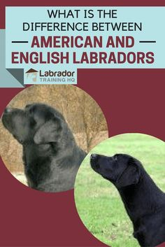 Difference between American & English Labradors?