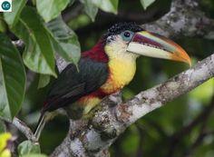 Chim Toucan Araçari đầu quăn Nam Mỹ | Curl(y)-crested Araçari (Pteroglossus beauharnaesii)(Ramphastidae) IUCN Red List of Threatened Species 3.1 : Least Concern (LC) | (Loài ít quan tâm)