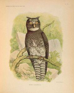 """""""Remarques sur l'ornithologie de l'État indépendant du Congo..."""" By Dubois, Alphonse, 1839-1921. Publication Bruxelles :[s.n.,1905].  Smithsonian Libraries"""