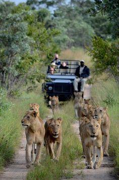 Memories of a guide – Steve's story: Southern Pride   Sabi Sabi Private Game Reserve Blog