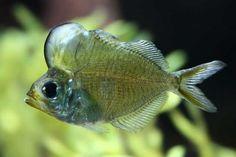 Humphead Glassfish - Pez napoleón de cristal (Parambassis pulcinella)