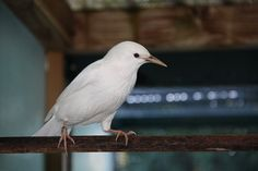 White Starling #Starlingsftw