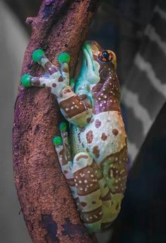 Amazon milk frog - The Mission golden-eyed tree frog or Amazon milk frog (Trachycephalus resinifictrix) is a large species of arboreal frog native to the Amazon Rainforest in South America. It is sometimes referred to as the blue milk frog. It was first discovered along the Maracanã River in Brazil.