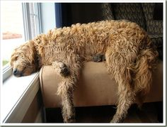 Goldendoodle @Angela Grilli is this thing got rather long legs or is it just me? lol