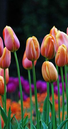 Colorful tulips...