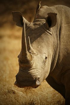 Rhino by Rudi Hulshof. Protect them from the illegal hunting Rhino Pictures, Wild Animals Pictures, Big Animals, Animal Pictures, Adorable Animals, Reptiles And Amphibians, Mammals, Save The Rhino, Rhinoceros