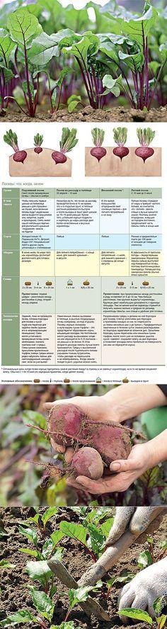 Свекла: как получить хороший урожай? | Сад и огород | Постила