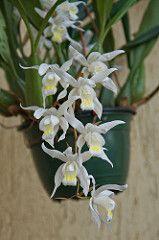 Coelogyne Unchained Melody (cristata x flácida) (douneika) Etiquetas: coelogyne Unchained Melody cristata x flaccida de orquídeas, Orchidaceae orquidea orquídea orquídea taxonomía: la familia Orchidaceae = taxonomía: binomial = coelogyneunchainedmelody