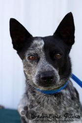 Jazzy is an adoptable Australian Cattle Dog (Blue Heeler) Dog in Whitesboro, TX. Meet Jazzy! She is a wonderful little girl and is such a love. Jazzy never meets a stranger and is good with kids, cats...
