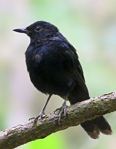 The Black Shama - endemic to the island of Cebu in the Phillipines