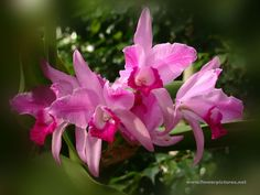 Tropical Orchid flowers (Cattleya)