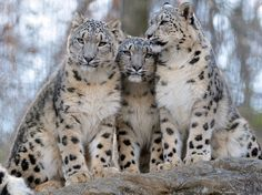 Snow Leopard Siblings. Photo by Steve Tracy Photography