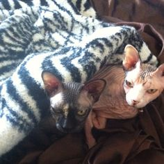 My two sphinx kitties ; Tanzy & Ming. We love these sweet lap cats, They are people kitties and would rather snuggle than anything else.