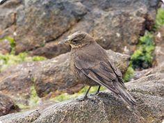 Blackish Cinclodes (Cinclodes antarcticus) Birds of Falkland islands Flight Feathers, Human Settlement, Iguazu Falls, Sea Birds, Bird Species, Lake District, Virtual Tour, Bouldering, Beagle