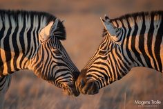 Photograph Zebra kiss by Mogens Trolle on 500px
